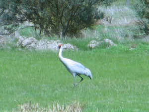 Brolga at Haddon 8_9_13